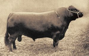 Champion Scottish-type Aberdeen-Angus bull from the early 20th century.