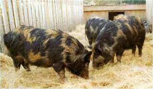 Young Arapawa pigs being reared in Canterbury (Trotter/McCulloch photo)