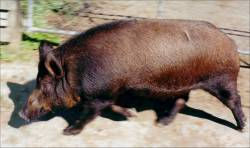 European Wild pig at Avonstour