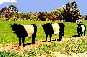 Belted Galloway steers in Canterbury (Trotter/McCulloch photo)