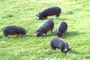 Berkshire pigs at Whiteoaks Stud, New Zealand (photo by Peter le Bas)