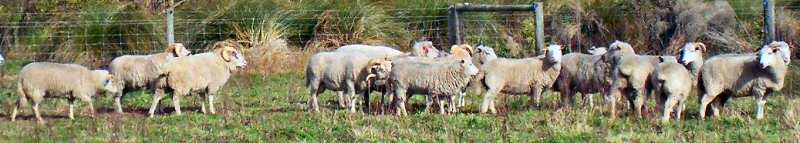 Campbell Island sheep