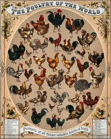 Poultry of the World