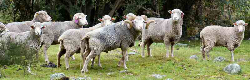 Clarence Reserve ewes (Photo by Michael Trotter)