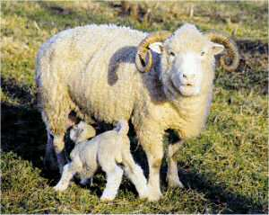 Dorset Horn ewe and lamb (Trotter/McCulloch photo)