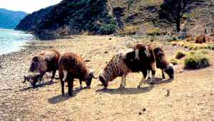 feral sheep on arapawa island