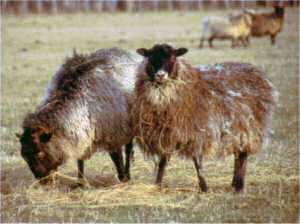 Gotland Pelt sheep in North Canterbury (Trotter/McCulloch photo)
