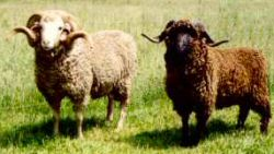 Full-mouth Hokonui ram (white) with ram hogget