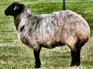 Karakul ewe (owned and photographed by Michael Willis)