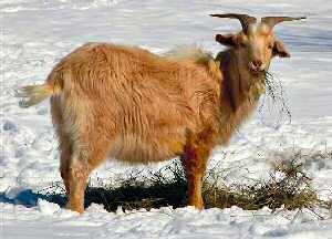 Kiko Goats in the USA