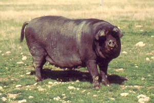 large black devon pigs