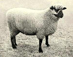 روزنامه اطلاعات 41 سال پیش: «چهارصد رأس گوسفند به علت خوردن خوشههای گندم، در هشتگرد ساوجبلاغ از بین رفتند!»