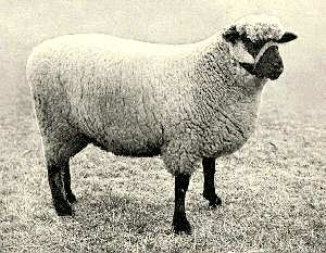 گوسفند نژاد آکسفورد/oxford sheep