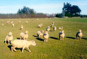 Ryeland sheep in Southland