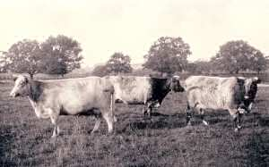 Early Durham-type Shorthorns, showing their dual-purpose qualities