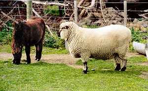 Miniature Horse and Shropshire sheep (Trotter/McCulloch photo)
